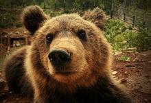 Medvjedi iz Macole bit će premješteni u utočište Kuterevo