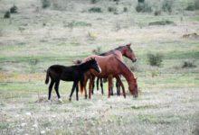 Zahtjevi za poticaje za uzgoj toplokrvne pasmine i uzgojne tipove konja do 31. siječnja