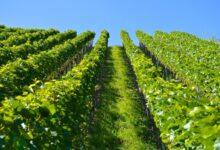 Uskoro novi natječaj za restrukturiranje i konverziju vinograda