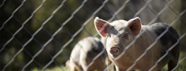 Potpora proizvođačima tovnih svinja zbog COVID-19